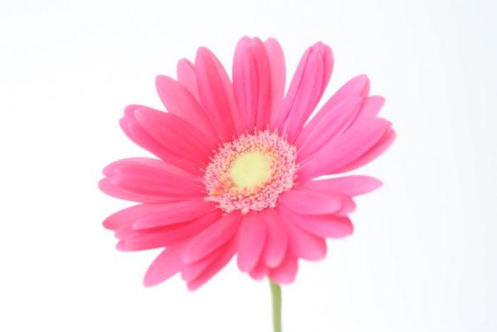 こちらが一番イメージされることの多い、一重咲きのガーベラです。