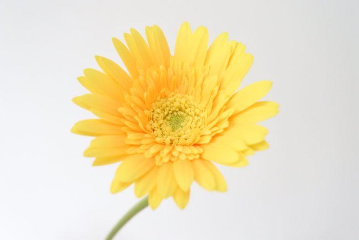 一重咲きと八重咲きの間くらいの咲き方です。
