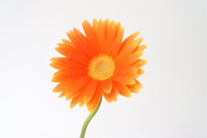 オレンジのガーベラは、ビタミンカラーで元気なイメージですね。