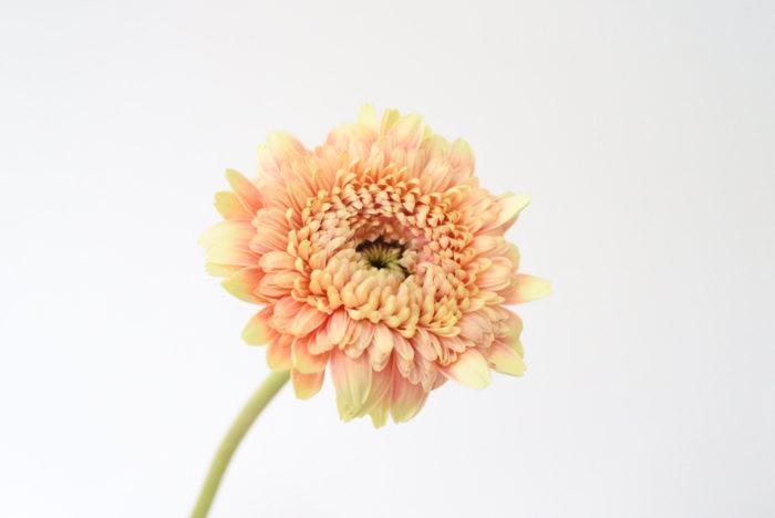八重咲きのガーベラ。モコモコとした咲き方がかわいらしいですね。