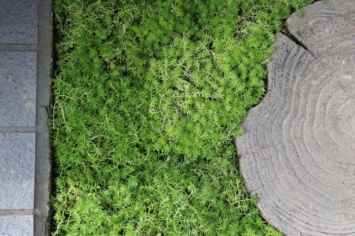 セダムをグランドカバーに使った結果、飛び石の周りが明るい雰囲気に変わりました。  今回はすぐに美しく見えるように比較的ぎっしり植えましたが、蒸れやすい季節や、時間をかけて緑化する余裕がある時はもう少し間隔をあけてセダムをばらまく感じに植えても大丈夫です。  セダムは根が深く張らないので、今後違う植物に植え替えたくなった時にも簡単に抜いて移動させることができます。
