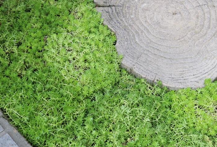「セダム(sedum)」は、万年草、ベンケイソウとも呼ばれる乾燥に強い野草です。  セダムはそのたくましい強さを生かしてグランドカバーや屋上緑化によく使われますが、一方、繊細な葉の形や美しい色を生かして寄せ植えやリースを作り、庭やベランダで育てて楽しむこともできます。