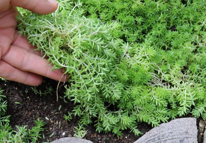 セダムは、この写真のように、ほぼ根が無い状態で土の上に置いておくだけでも発根して根付きます。  植え付け後すぐは水やりをせず、1週間後くらいに土が乾いていたら水をあげます。雨があたる場所であれば、ほとんど水やりは不要です。