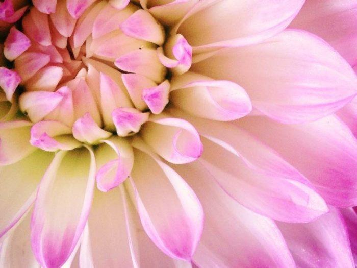花色…赤、オレンジ、黄、白、ピンク、紫、複色など  ダリアは、5センチ程のコロンと丸い形のものから、20センチ以上にも大きく開く大輪のものまで、咲き方の種類が豊富です。なかなか20センチを超える花は他にないので、インパクトは抜群ですよ。また、色も白から明るいピンクや黄色、オレンジ、はたまた黒に近い赤などとても豊富なので、贈る相手の好みに合わせて選ぶこともできますね。