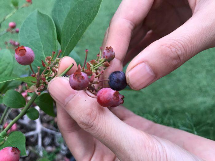 ブルーベリーを収穫していて、美味しそうな青色になっているのに、摘んで食べてみると、渋かったり、酸っぱかったりした事はありませんか?  ブルーベリーは実ってから熟れていく間に少しづつ色を変えて行き、はじめは淡い緑色をしていて淡いピンク、赤、紫、濃紺と変化していきます。  最後の濃紺になった時が実は完熟ではなく、濃紺になってから4日~7日が甘みが増し食べ頃を迎えます。ブルーベリーは収穫してしまうと追熟(そのまま保管しても甘くならない)しない為、完熟してからの収穫が好ましい果実です。濃紺になってから、4日~7日と言われても、房の中で同じ様に次々と濃紺に色づくブルーベリーはどれが何日目だっただろう?とわからなくなってしまいそうですね。そんな時の見分け方があります。