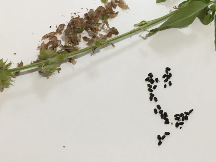 ガクも茶色く枯れたら収穫してバジルの種を脱穀しますが、今回は画像のように完全に全てのガクの部分が茶色くなっていないうちに収穫しました。それはバジルの種は収穫せずそのままにしておくと、雨風により種が落ち水を含んで発芽してしまうからです。