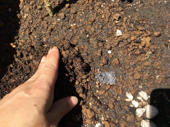 水分を含ませたバジルシードをプランターの土にまき、軽く土を被せ乾燥しないように管理して発芽を待ちます。