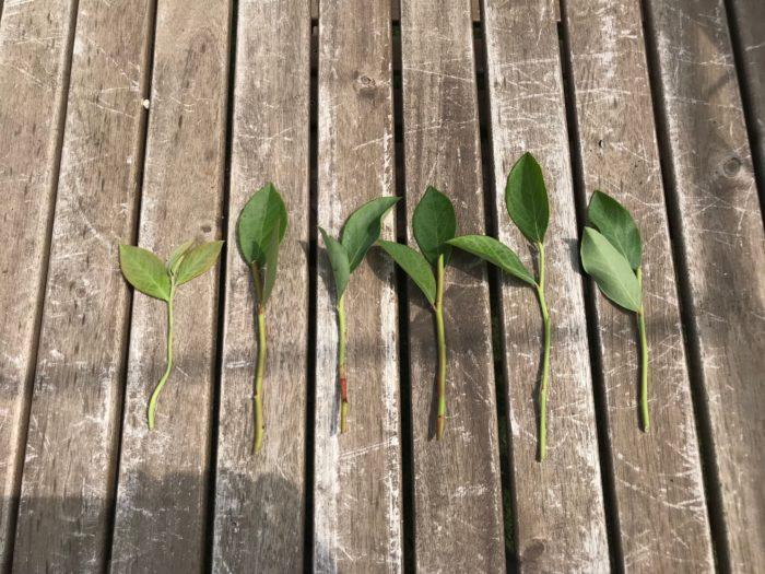 10㎝に切りそろえた枝は上に付いた2枚の葉を残して、下の方に付いた葉は実家として落とします。