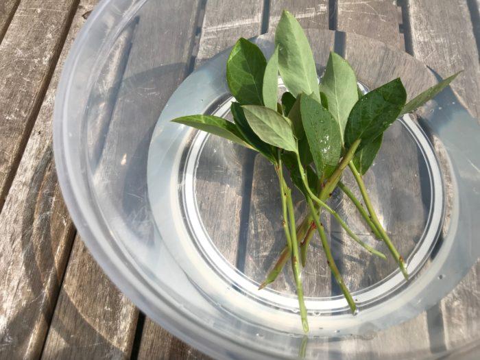 下葉を落とした枝はお水の中に3~4時間程浸けてたっぷりと水を含ませます。