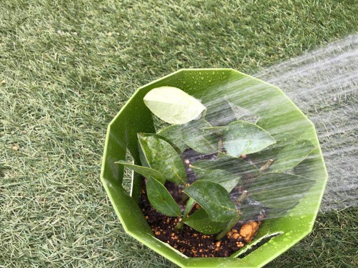 全部挿し木が終わったら、土を落ち着かせる為、植木鉢の底から水が出てくるまで水を与えます。