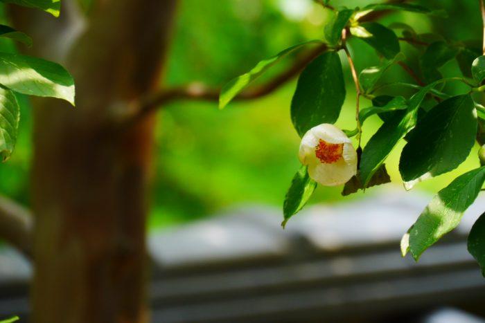 夏椿(ナツツバキ)  日本では夏椿(ナツツバキ)を沙羅の木(沙羅双樹)と呼んでいます。春に芽吹く柔らかそうな葉も、夏には明るい色味の涼しそうな葉が素敵です。  5月~7月頃、夏椿はこの写真のとおり可憐で可愛らしい白い花を咲かせ朝咲いて夕方に散る儚い一日花です。蕾もまん丸で可愛らしい様子をしています。  秋になると紅葉も楽しむ事ができる落葉樹で、四季を通して色々な表情を見せてくれる魅力的な樹木です。木の幹の皮がはがれてスベスベとした木肌が現れる為、地域によってはサルスベリと呼ぶ地域もあるようです。
