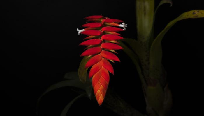 紅色の花苞に純白の花を咲かせる美しいエアプランツです。低温に弱く高温多湿を好む品種で、タンクタイプのエアプランツになります。  花序が綺麗に分岐したダイエリアナは非常に美しく、いかに花序を分岐させられるかが腕の見せ所でしょう。 ※近年ティランジア属からラシナエア属へ再分類されました。