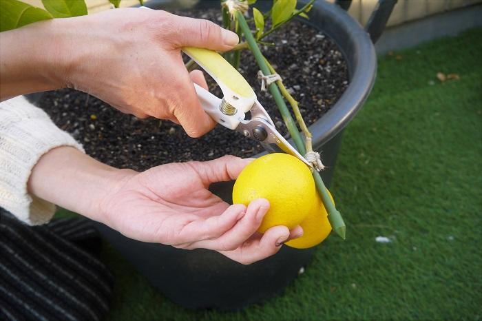 レモンが色づくのは秋から冬。ラブグリーン編集部オフィスのレモンの果実もこんなにきれいな黄色に色づきました。いよいよ収穫です。
