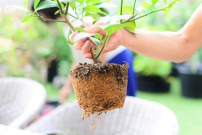 根がしっかりと鉢の形そのままに生長しています。このままでは窮屈な上に、肥料も水分も足りません。小さな鉢の中で根が生長しすぎると、「根詰まり」と言って生長を妨げる原因となります。適宜植え替えてあげましょう。