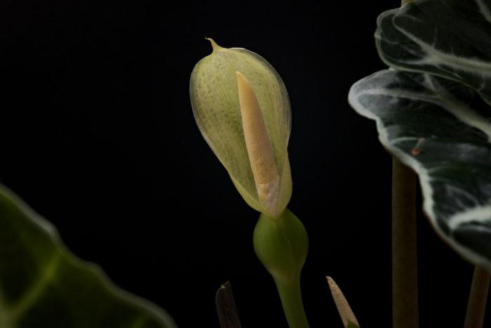 アロカシアの花