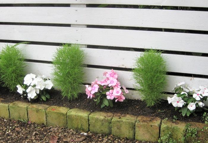 コキアは一株でもボリュームが出るので、地植えで大きく育てる場合はできたら株間を50~60cm以上とると良いです。地植えすると大きくなり、プランターに植えると小さく育ちます。