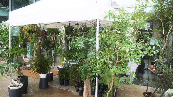 http://hanatoeda.com/  西新宿の「ハナミドリ」さんと、西荻窪の「枝屋」さんの二つのお花屋さんが融合しているのが「ハナと枝」さん。今回はイベントということもあって、鉢植えメインの品揃えでした。  普段から、お花屋さんだけど、お庭を作るお仕事もされているそうで、「続くもの、生長するものの良さも伝えたい」という気持ちから鉢植えを持ってこられたそうです。  大小たくさんの鉢植えと、これからが楽しみな秋植え球根も並んでいました。そのなかでも特にお店の方のお気に入りは、ブラッドオレンジのトピアリー仕立て。すっとスマートなトピアリーに仕立てられたブラッドオレンジの樹に、まだグリーンの実がいくつか下がっています。「これから実が熟して色づいていけば、また可愛さが増していく」と、楽しそうにお話していただきました。  西新宿と西荻窪のショップでは、普段は生花も扱っているそうです。植物好きが選ぶお花たちが並ぶお花屋さん、覗いてみたくなります。