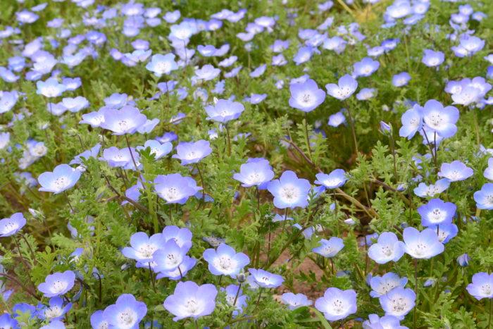 ネモフィラ Nemophila menziesii  ネモフィラは、ムラサキ科の春に花が咲く一年草。和名では瑠璃唐草(ルリカラクサ)と言います。  最近、ネモフィラは、国営ひたち海浜公園をはじめとした公共施設などの広い花壇で植栽されて有名になったことから、ご存知の方も多い草花ではないでしょうか。  ネモフィラの品種はいくつかありますが、一番出回り量が多いのは、ブルーの品種「インシグニスブルー」です。英名では「baby blue eyes」とも言われ、この種の花の色は和名の瑠璃からも想像できるように、とてもきれいなブルー~水色をしています。  ネモフィラはほふく性(這い性)なので、横に這うように広がって生長していきます。グランドカバーや花壇の前面、鉢植えのネモフィラは、コンテナの脇に植えたり、垂れるように咲くのでハンギングにも向いています。  ネモフィラの苗は年明けあたりから苗が出回り始めますが、実際の開花時期は3月~5月くらいまでの一年草です。