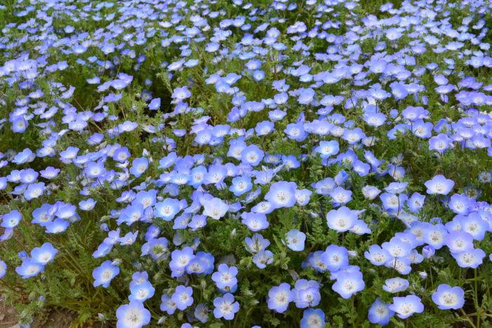 ネモフィラの種まきは9月~10月に行います。 ネモフィラの種は、園芸店、ホームセンター、通信販売などで購入することができます。青いネモフィラの品種名は「インシグニスブルー」です。  ネモフィラの根は直根性なので、花壇やプランターに直まきで種まきするのが一番簡単な方法です。秋にお庭や花壇にパラパラと直まきして、土を軽くかけて発芽を待ちます。発芽まで土を乾かしすぎないようにしますが、湿りすぎていると発芽した苗が根腐れを起こすので注意しましょう。  ネモフィラは若いうちなら移植は可能です。苗の数をたくさん必要な場合は、育苗トレーなどを使って種まきをし、早めに移植します。ポット苗に直接蒔いて、間引くのも簡単な方法です。  ネモフィラの種は、嫌光性なので、種まきをしたら軽く土をかけて種に光が当たらないようにします。