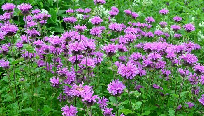 モナルダは開花期間の長いシソ科の宿根草のハーブ。和名が「タイマツバナ」と言われるのは、もともとの種が赤い花でタイマツのような形に見えることからきています。最近は品種改良が進み、赤の他、白、ピンク、パープル(紫)などたくさんの品種があります。  暑さ寒さに強く花丈も高い宿根草なので、夏の花壇の後方に植栽すると見事です。性質が強く、植えっぱなしでどんどん大株になります。地下茎で増えるので根付いて数年すると、元の株から違うところから出てくることも。