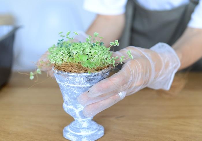 セダムのまわりに一周、ココヤシファイバーを敷きます。ココヤシファイバーを敷くと、水やりをする時に土が漏れにくくなるうえに、おしゃれ感がアップします。