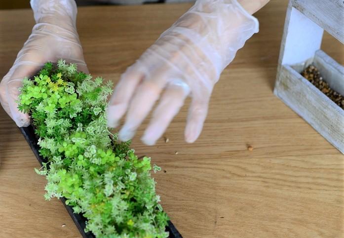 木製フレームにプラスチックケースをセットして、器の高さの1/2弱まで土を入れます。  セダム苗ひとつかみを土の部分ごと手でカットし、根の部分が器に収まるよう土を落とします。