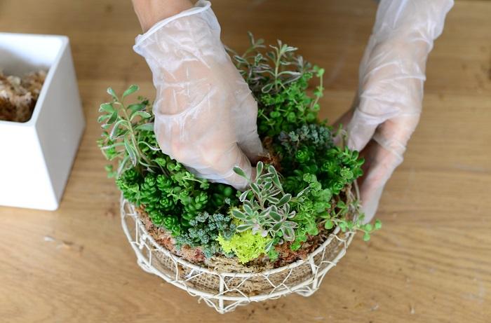 不織布を内側に織り込むようにして、セダムのまわりに外側と内側両方から水苔をはっていきます。