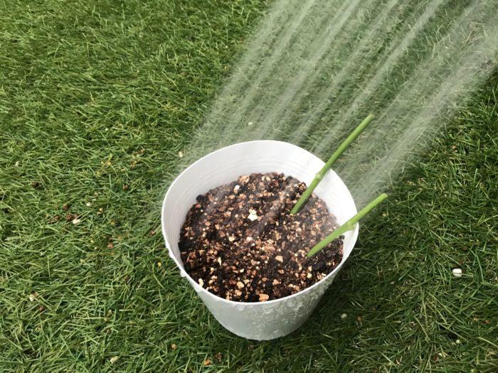 挿し木が終わったら、鉢の底から水が流れ出てくるくらい、水をたっぷりとかけて発までの様子をみてみましょう。
