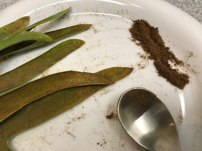 ビカクシダ・ウィリンキーの葉の裏についている胞子をスプーンを使って集めてみました。