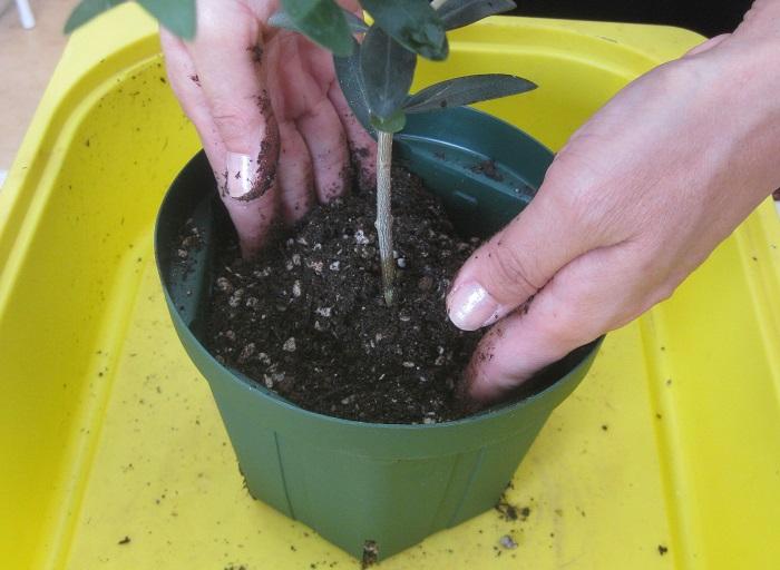 別の時の植え替え写真ですが、手を縦にして鉢にさすイメージはこんな感じです。鉢の底の土がふかふかした隙間だらけの状態だと、木がぐらついてしまいます。  岡井先生「オリーブを同じサイズで楽しみたい時は、根と枝を整理して、また同じ鉢に植え替えれば大丈夫。その際、鉢をひと回り小さくすればサイズダウンすることも、大きく育てたい時は、根鉢よりもひと回りかふた回り大きな鉢を選ぶとサイズアップできますよ。」
