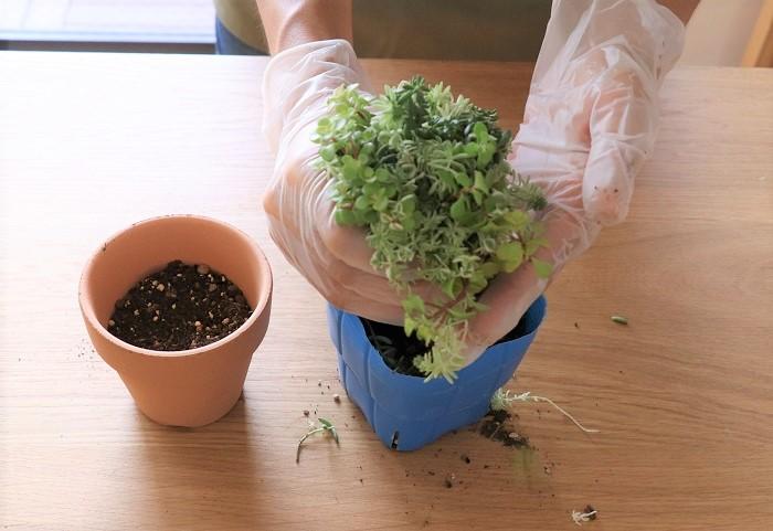 ミックスセダムの苗をポットからはずして、根がはっている底面の部分を手やハサミでカットして土の部分をコンパクトにして新しい土に植えていきます。
