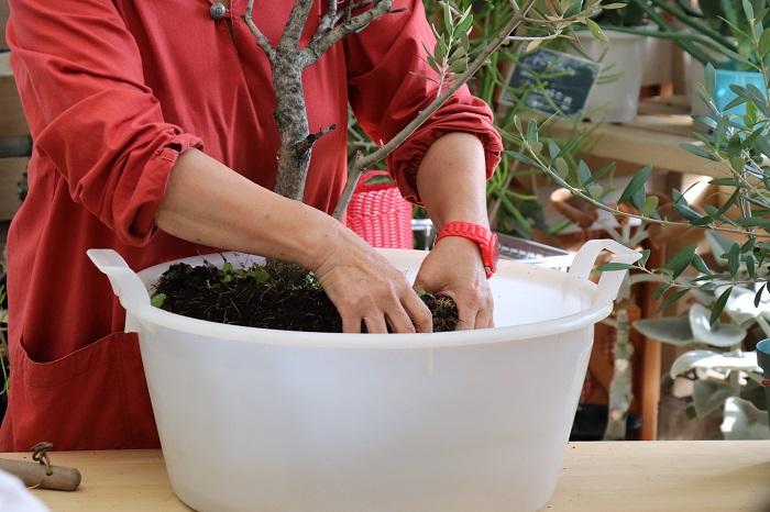 オリーブを鉢から抜いて、肩こりをほぐすように、木の肩の部分の土を優しくもみほぐしていきます。