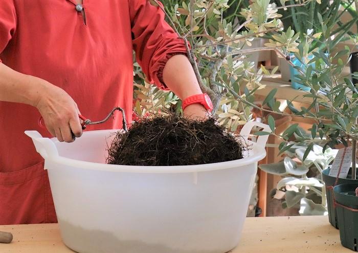 岡井先生は、イギリス製の根かきフォークを使って根をさくさくとほぐしていました。使い古しのフォークや割り箸などを使って根をほぐしてもいいそうですよ。