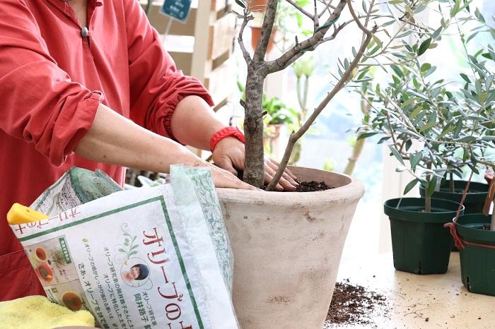 オリーブの周りに土を入れ、途中、両手を縦にして鉢にさし、隙間にしっかり土を入れていきます。水をあげた時に土があふれ出ないように、必ずウォータースペースを残しましょう。そして、仕上げは土を必ず平らにします。