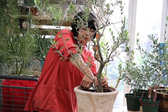 植え替えが完了したら、次は剪定です。  岡井先生「根をコンパクトにしたから、地上部も切っていきますね。」  と、おっしゃると、株元から生えてけっこう育っていた枝をバッサリ。参加者は「おー!」と、びっくり!!!  これは「ひこばえ」といわれる枝(樹木の切り株や根元から生えてくる若芽)が育ってしまった枝でした。「ひこばえ」は、親株に栄養を行き渡らせるために本来はもっと小さなうちに地際から切るそうです。