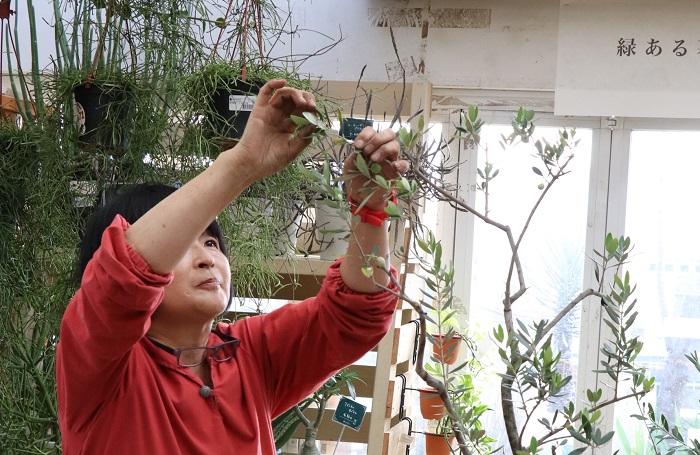 切らずに残した枝は、枝先に出ている小さな芽を手で摘んでおきます。  岡井先生「植え替え時の剪定では、小さくも大きくもすべての枝を切ります。そうすることで新芽をどんどんふやすことができますよ。オリーブは春から初夏に伸びた新梢に翌年花を咲かせ実をつけるから、春から初夏の間に新芽が伸びてきたらなるべくこまめに枝先を切って枝数をふやしてね。枝先の場合はハサミじゃなくて手でソフトピンチする感じでいいですよ。枝数が増えると年々倍に倍に実も増えるということです。」