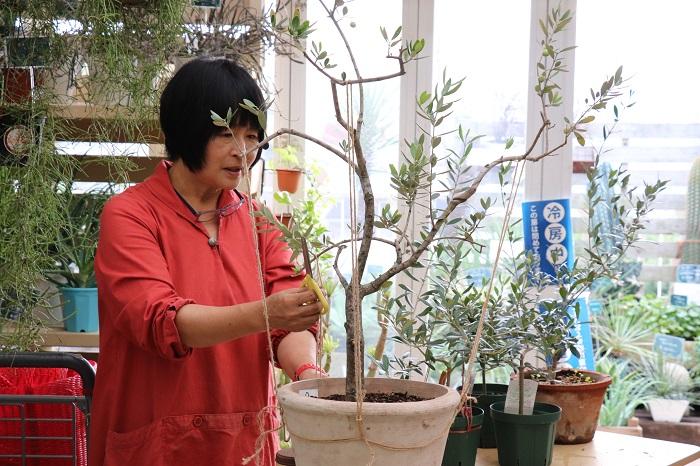 オリーブの枝を少ししならせて、麻ひもで引っ張りながら樹形をつくっていきます。  岡井先生「木が大きくなると枝がしなりにくく大事な枝が折れてしまうこともあるので、加減しながら引っ張ってくださいね。」