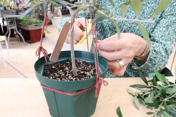 昨年の樹形づくりで使った古い麻ひもを切ります。麻ひもを切ってももう戻らずしっかり形がつくられています。