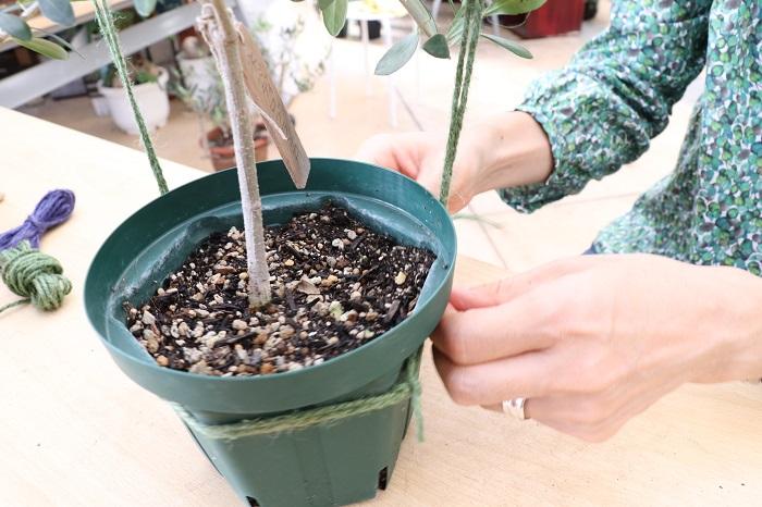 新しく伸びた枝の樹形をつくるため、今回はオリーブ色の麻ひもで引っ張っていきます。
