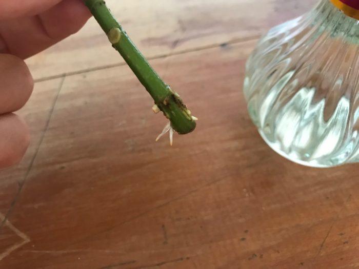 夏など、気温の高い季節は3~5日程で、小さな根が出て来ます。根はデリケートな為、水替えなどの時に口の狭い瓶などの場合、口にぶつかって折れてしまったりするため、気を付けて水替えをしましょう。