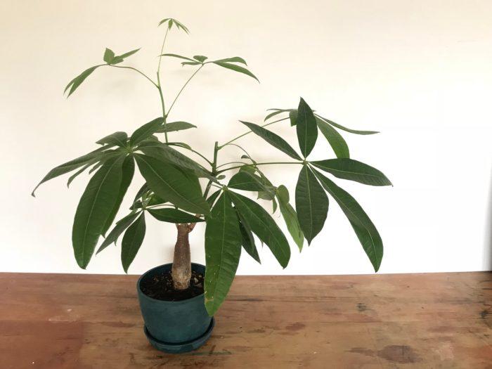 原産地では熱帯の日当たりが良い場所に生育する常緑高木です。その高さは2omにもおよびます。大きく育った樹木には果実が実り、その種子は焼いて食用にされています。葉は艶があり5~7枚くらいのボート型の葉が放射状に広がり個性的な葉をしています。観葉植物としても育てやすく、室内では日光が当たる明るい場所が適していますが薄日程度でも育てることが出来、その場合花徒長(間伸びして枝が細く長く伸びる)して下の方の葉が落ちてしまいます。徒長した枝は水耕栽培や挿し木で増やす事が出来る丈夫な植物です。水やりは湿潤を好むのですが、乾燥に強く、表土が乾いたらたっぷりと与えます。冬場は水やりを控えめにし、時々霧吹きなどで水をあたえ、葉や樹木の乾燥を防ぐとよいでしょう。