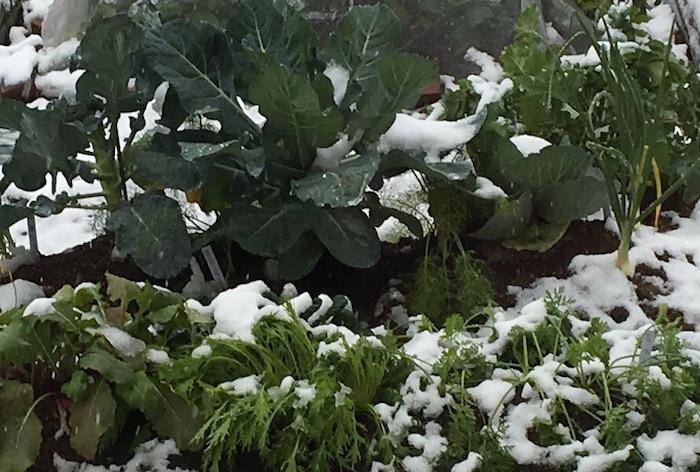 ほとんどの秋冬野菜が生育するのに適した温度は15〜20℃位です。15℃を下回る寒い冬は雪が降ったり、寒さのために霜柱が出来たり、植物にとって生育が鈍る季節です。そのため、寒い冬の季節に合った育て方が必要になります。特に水やりは、寒さで根を痛めてしまわないよう要注意!