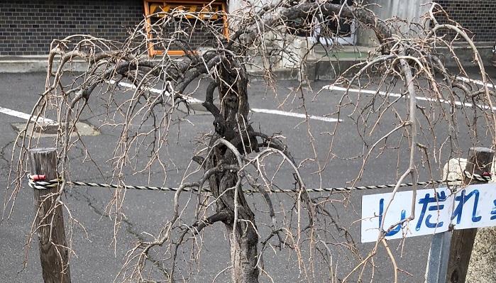 街路樹にしだれ桑が植えてありました。冬はきれいに葉を落としていました。