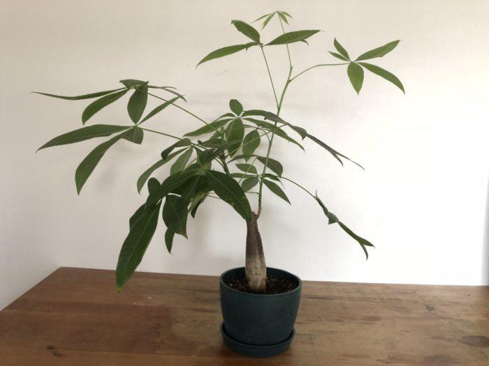 育てているパキラの枝が徒長(伸びすぎた枝)した枝があったら剪定して、水耕栽培と挿し木にします。  今回は向かって右側の枝を剪定してみる事にしました。