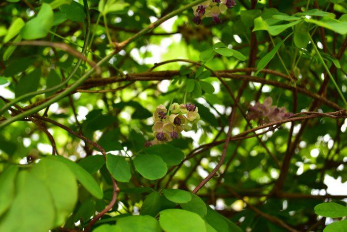アケビ(木通)は4~5月に開花します。1株で雌雄異花を咲かせます。近づくと優しい芳香がします。