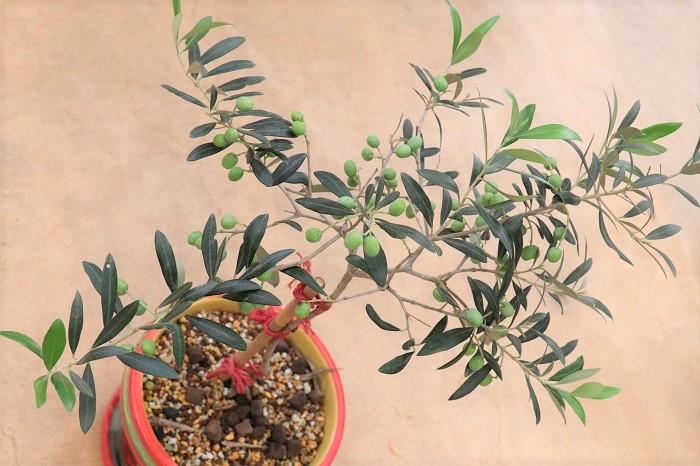 これは、「アルベキーナ」という品種のオリーブです。コンパクトで、葉も実も小さめですが、木が若くてもよく花をつけ、収穫期にはすずなりに実がつくそうです。