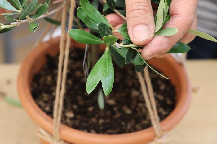そしてこちらは「ネオディロブランコ」という品種のオリーブの葉です。ハート形の葉がまぎれていました。岡井先生によると、ネオディロブランコは、剪定するとハート形の葉が出てくることがたまにあるそうです。先生と参加者でハート型の葉をみつけて盛り上がり、その場の雰囲気がさらにほっこりしました。  また、無農薬で育てたオリーブは、剪定した時に葉をお茶にして楽しむこともできます。
