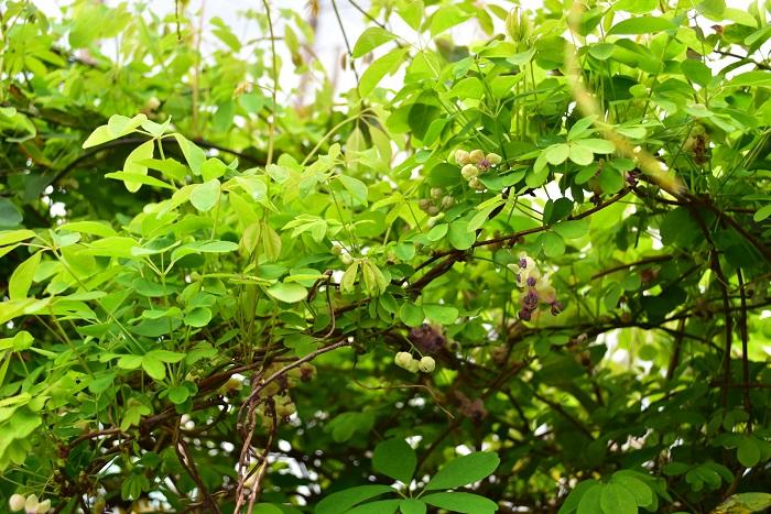 アケビ(木通)はツル性木本です。大きくなるにつれて、ツルが木のようになっていきます。地植えのアケビ(木通)は、フェンスや垣根などしっかりとしたものに誘引してください。鉢植えのアケビ(木通)も、トレリスなどに誘引してください。