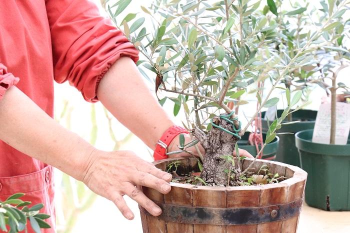 これは、10年もののオリーブです。早く幹を太くしたい場合は、まっすぐ上に伸びる枝をばすっと切るそうです。太い幹と樹形がかっこいいですよね。