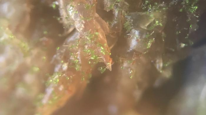 顕微鏡を使用して観察すると細い茎の先にハート形をした葉が広がっています。モザイクの様な凹凸があり、光の反射でキラキラと輝いています。なんとも可愛らしい様子です。